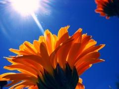 flowersun1